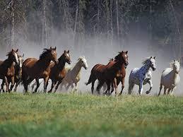 Wild Herd Running